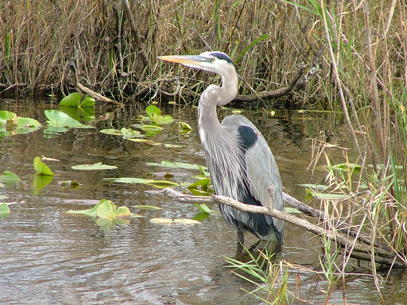 Great blue heron in Everglades National Park