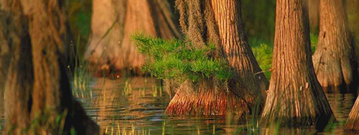 Decorative banner photo of balkd cypress trees.