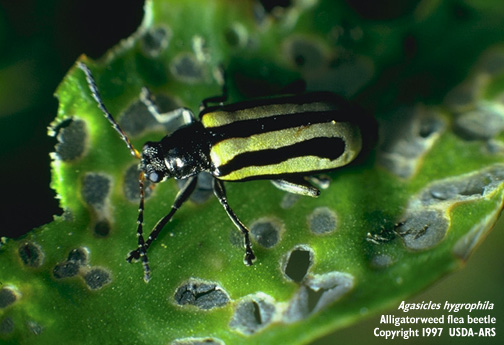 alligatorweed flea beetle