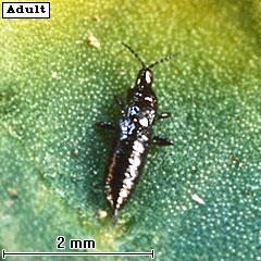 Amynothrips andersonii