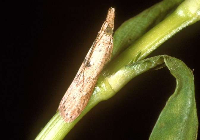 Arcola (Vogtia) malloi, the alligatorweed stem borer