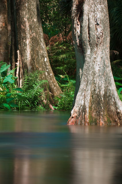Cypress trees in the Loxahatchee River