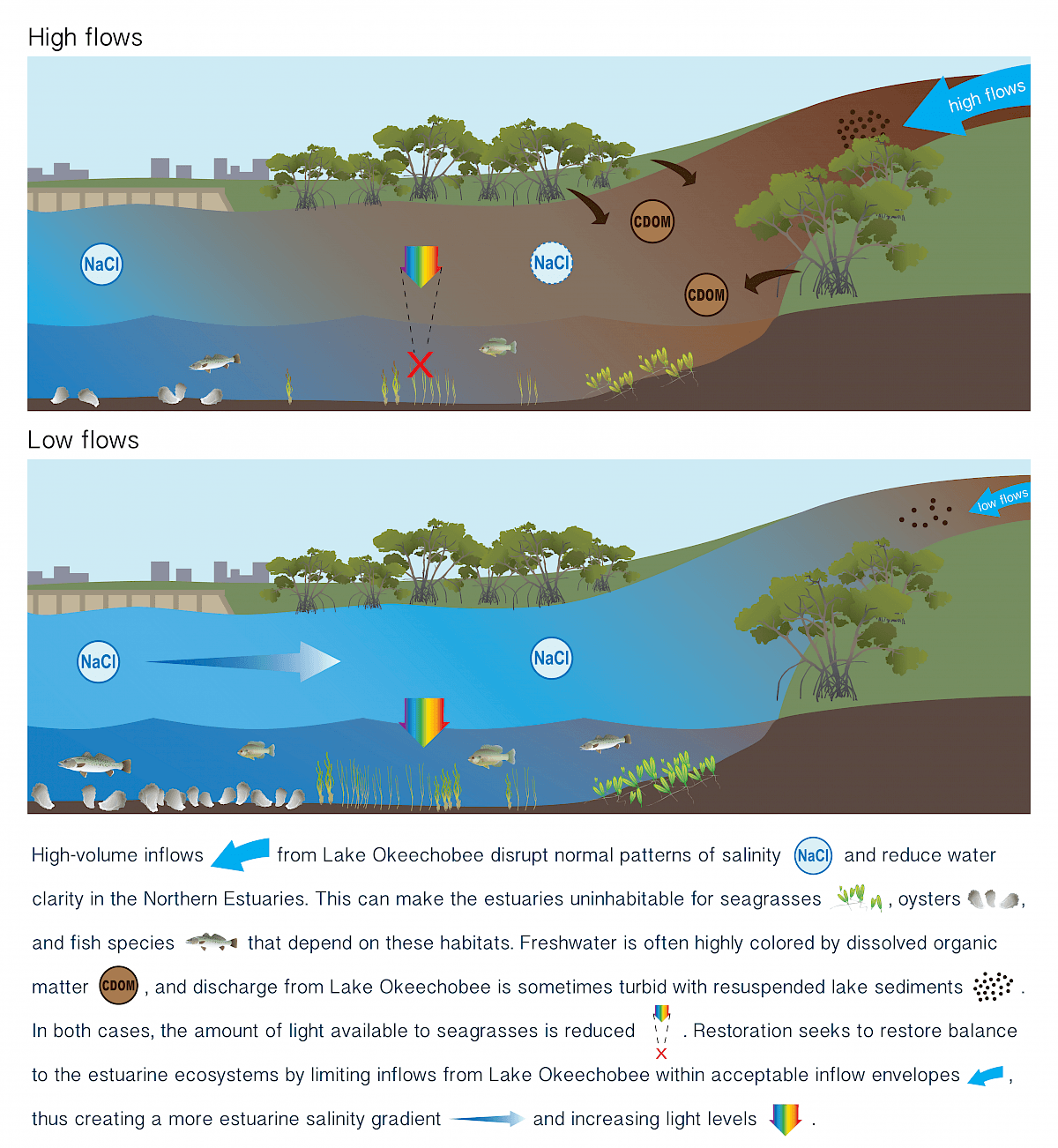 Graphic showing the high flow and low flow information. High-volume inflows from Lake Okeechobee disrupt the normal patterns of salinity and reduce water clarity in the Northern Estuaries. This can make the estuaries uninhabitable for seagrasses, oysters, and fish species that depend on these habitats. Freshwater is often highly colored by dissolved organic matter and discharge from Lake Okeechobee is sometimes turbid with resuspended lake sediments. In both cases, the amount of light available to seagrasses is reduced. Restoration seeks to restore balance to the ecosystem by limiting inflows from Lake Okeechobee with acceptable inflow envelopes, thus creating a more estuarine salinity gradient and increasing light levels.